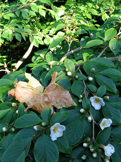 Blossom-leaf