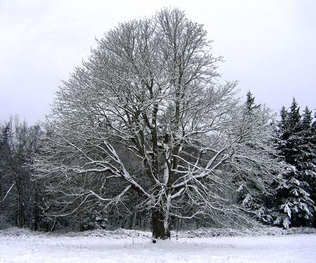 Wintermaple-sm