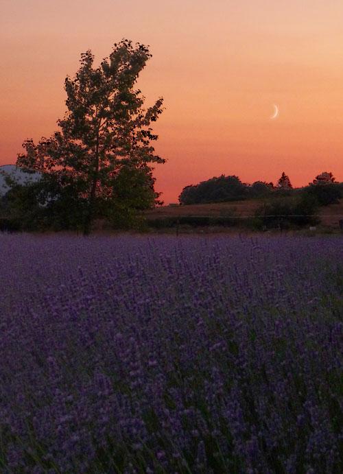 Lavender-sunset