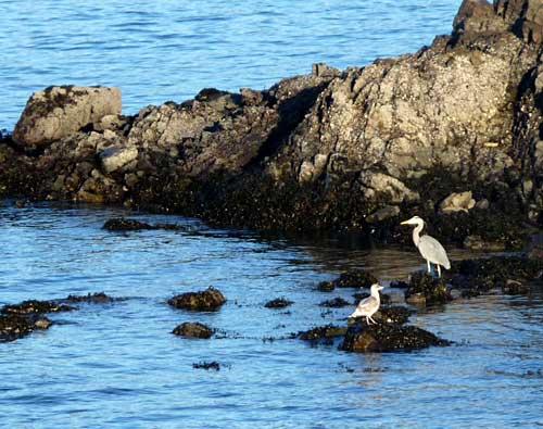 Heron-gull2